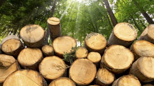 Harested Hardwood Logs
